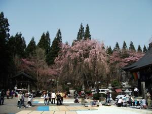 天台寺の桜
